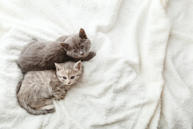 2 due gattini a strisce grigie. bellissimi gattini a strisce giacciono su un soffice plaid beige. casa accogliente con gatti da compagnia, baby animale. vista dall'alto con copia spazio. ritratto di gatto addormentato.