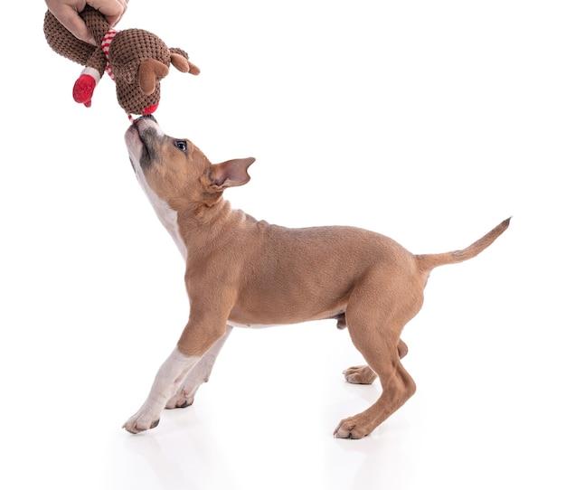 Cucciolo di american staffordshire terrier di 3 mesi che gioca con un giocattolo isolato su bianco