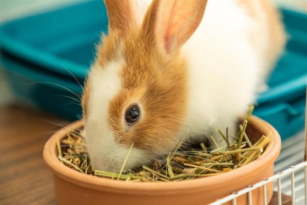 Coniglietto di 3 mesi che mangia cibo da fieno da vicino