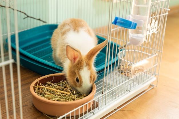 Coniglietto di 3 mesi che mangia fieno nella sua gabbia