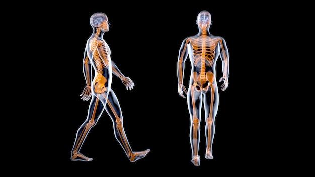 Concetto di anatomia 3d di un uomo dei raggi x che cammina
