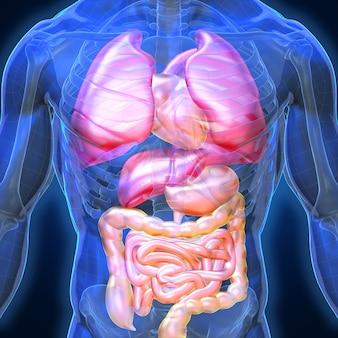Organi e muscoli umani 3d, anatomia di colore blu uomo raggi x ossa fegato polmonare cuore