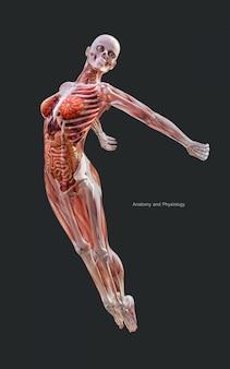 Illustrazione 3d umano di un sistema di muscoli scheletro femminile, sistema osseo e digerente