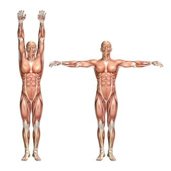 Figura medica maschio 3d che mostra abduzione e adduzione della spalla
