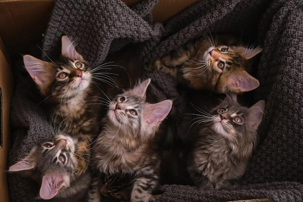 6 gattini maine coon multicolori di 2 mesi in una scatola con uno sguardo grigio plaid alla telecamera, vista dall'alto