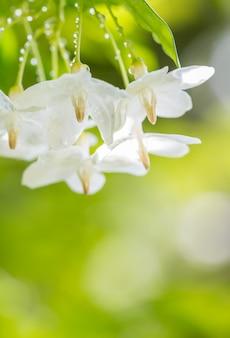 Astratto sfocatura sfondo di fiori bianchi, religiosa wrightia - wild water prugna.