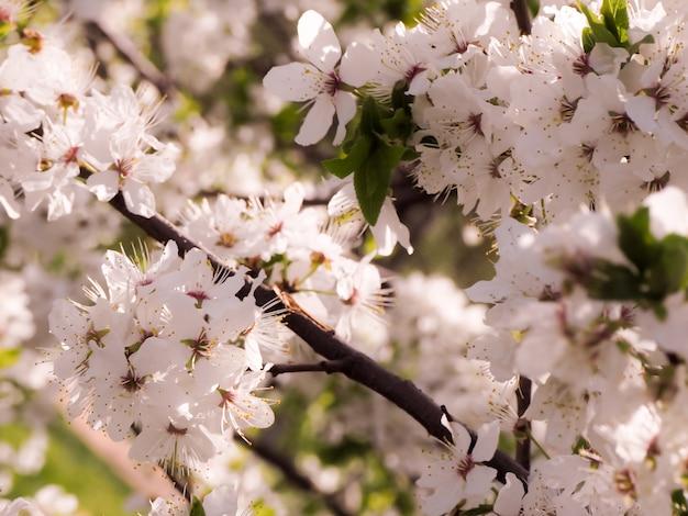 Astratto sfondo floreale concetto di natura e primavera. fiore di primavera: ramo di un ciliegio in fiore in una giornata di sole