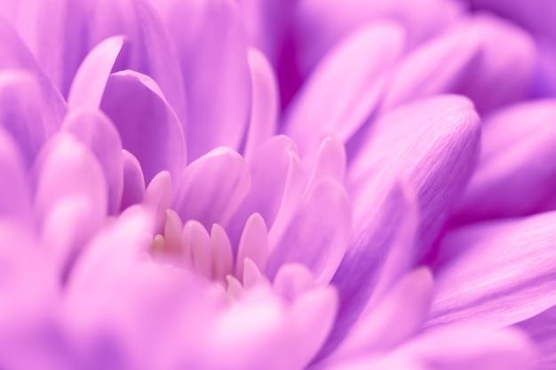 Sfondo floreale astratto viola crisantemo fiore macro fiori sullo sfondo per le vacanze brand
