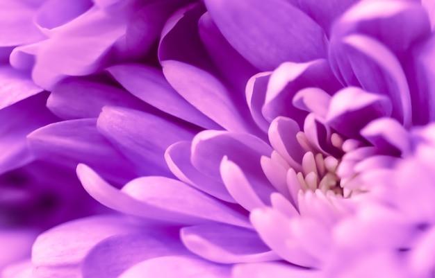 Sfondo floreale astratto viola crisantemo fiore macro fiori sullo sfondo per le vacanze design