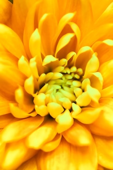 Sfondo floreale astratto fiore di crisantemo giallo macro fiori sullo sfondo per le vacanze brand