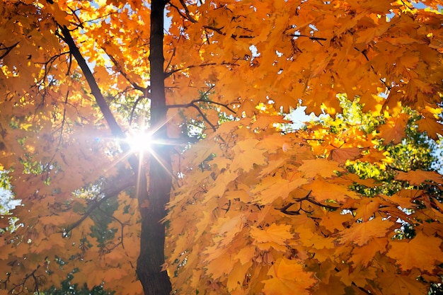 Sfondo astratto del fogliame, bellissimo ramo di albero nella foresta autunnale, luce solare calda e brillante, foglie di acero secche arancioni, stagione autunnale