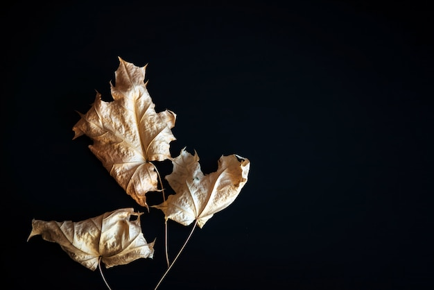 Foglie di acero immagine-asciutte astratte su fondo nero. fogli di autunno asciutti isolati sul nero con lo spazio della copia. erbario, creatività, carta da parati.