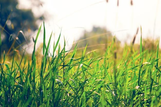 Sfondo naturale astratto. erba verde nel prato con bokeh di bellezza. annata filtrata.