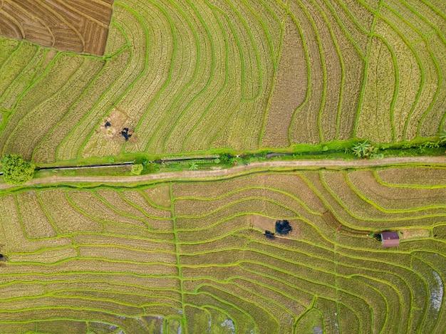 Riassunto di una trama di terrazzamenti di campo di riso nel nord bengkulu, indonesia