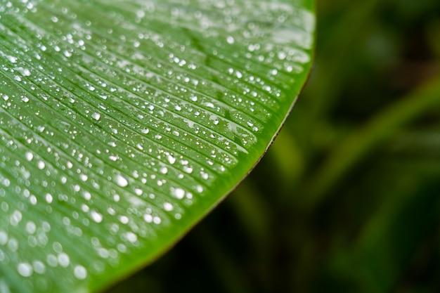 Fondo naturale a strisce astratto, dettagli della foglia della banana con goccia di pioggia e bokeh vago per fondo