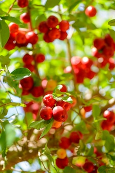 Albero di acerola con molti frutti maturi.
