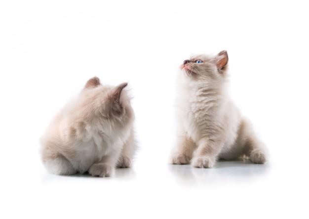 Gatti adorabili su fondo bianco isolato