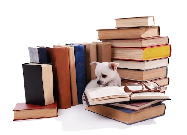 Adorabile chihuahua cane sul mucchio di libri su bianco