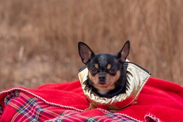 Adorabile chihuahua cane all'aperto in un maglione. chihuahua in un giubbotto d'oro per cani. cane in vestiti