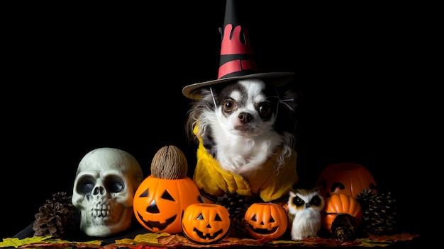 Adorabile cane chihuahua che indossa un cappello da strega di halloween e tiene in mano una zucca su sfondo scuro. buon giorno di halloween.