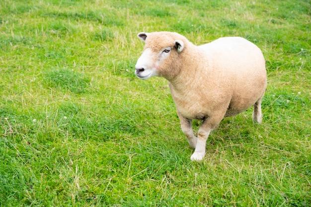 Adorabile piccola pecora lbaby amb nell'erba verde, presso la fattoria degli animali nel regno unito