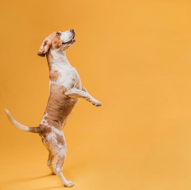 Adorabile cane in piedi sulle zampe posteriori