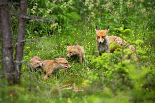Famiglia adorabile della volpe rossa sulla passeggiata attraverso la foresta in primavera