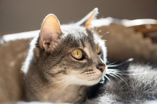 Adorabile felino con gli occhi verdi seduto a casa che si rilassa e guarda davanti.