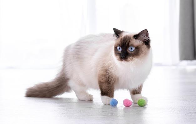 Adorabile gatto ragdoll lanuginoso con bellissimi occhi azzurri in piedi sul pavimento e giocando con palline colorate. ritratto dell'animale domestico felino della razza con i giocattoli. bellissimo animale domestico di razza al chiuso