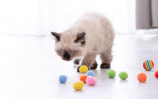 Adorabile gattino ragdoll lanuginoso in piedi sul pavimento e guardando le palline colorate. ritratto dell'animale domestico del gattino felino della razza con i giocattoli. bellissimo piccolo gatto domestico di razza che gioca in casa