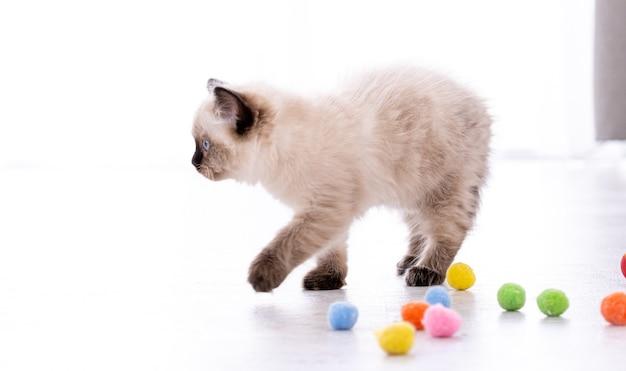 Adorabile gattino ragdoll lanuginoso in piedi sul pavimento con palline colorate. ritratto dell'animale domestico felino del gattino della razza americana con i giocattoli. bellissimo piccolo gatto domestico di razza che gioca in casa
