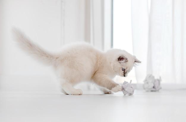 Adorabile gatto ragdoll bianco lanuginoso che gioca con palline di carta sul pavimento in una stanza luminosa e guarda la telecamera con gli occhi azzurri. adorabile animale domestico felino di razza carino all'aperto con giocattoli