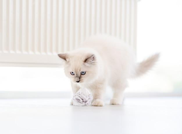 Adorabile gatto ragdoll bianco lanuginoso che gioca con palline di carta sul pavimento in una stanza luminosa e guarda la telecamera con gli occhi azzurri. adorabile animale domestico felino di razza all'aperto con giocattoli