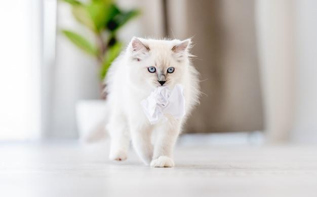 Adorabile gatto ragdoll bianco lanuginoso in piedi che tiene in bocca una palla di carta in una stanza luminosa con luce diurna. adorabile animale domestico felino di razza che gioca all'aperto con i giocattoli