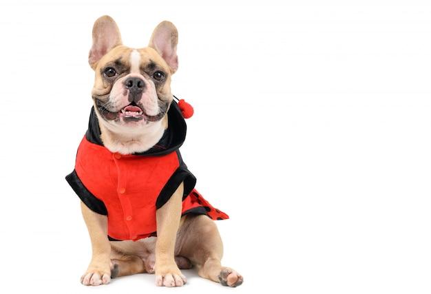 Adorabile bulldog francese che indossa un costume carino e divertente coccinella isolato
