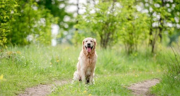 Adorabile cane golden retriever seduto all'aperto nell'erba verde nella natura in estate