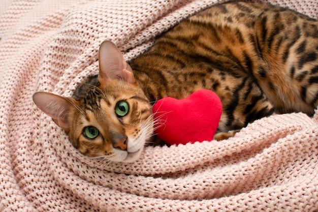 Adorabile gatto bengala dagli occhi verdi sdraiato sulla coperta rosa con cuore rosso di peluche. san valentino relax, amore, concetto di animali domestici. avvicinamento. biglietto di auguri di san valentino.