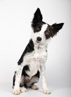 Ritratto di cucciolo di border collie bianco e nero sano e felice adorabile su fondo bianco.