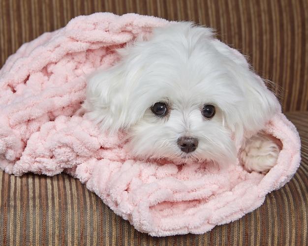 Adorabile cagnolino avvolto in una coperta rosa