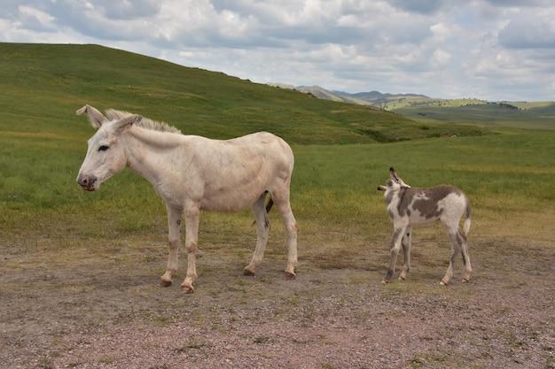 Adorabile madre e baby burro in piedi insieme in un grande campo.