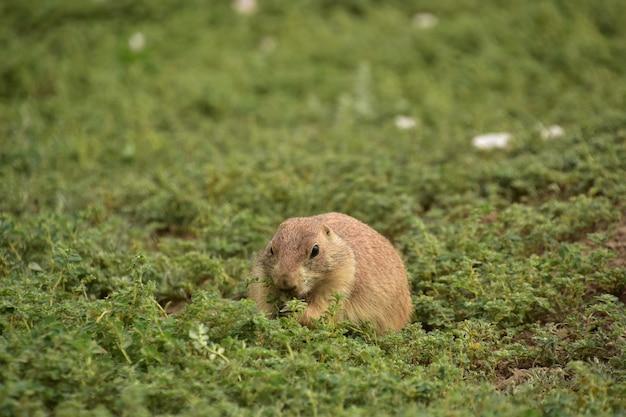 Adorabile cane della prateria che mangia parte della lussureggiante copertura del terreno intorno alla loro tana.