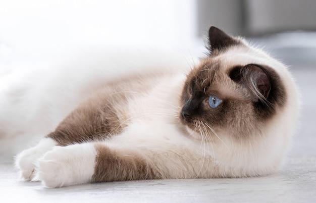 Adorabile gatto ragdoll con bellissimi occhi azzurri sdraiato sul pavimento a casa e guardando indietro. ritratto del primo piano dell'animale domestico felino di razza al chiuso