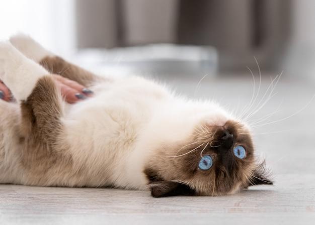 Adorabile gatto ragdoll con bellissimi occhi azzurri sdraiato sulla schiena sul pavimento a casa e guardando la telecamera. ritratto del primo piano dell'animale domestico felino di razza al chiuso