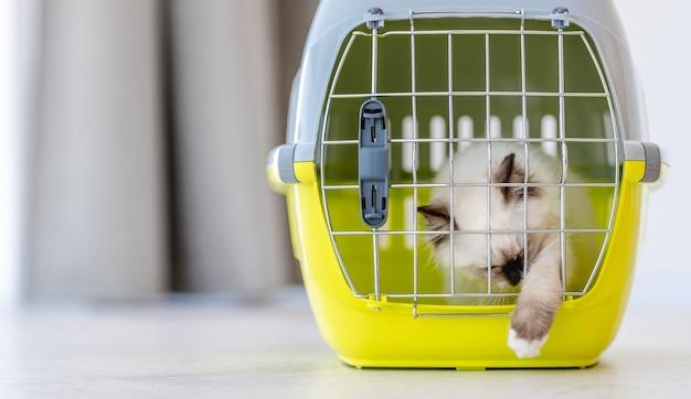Adorabili gatti ragdoll seduti chiusi in un animale domestico che trasportano per il trasporto e provano ad aprirlo con la zampa. soffice felino domestico di razza pura all'interno del cesto con reticolo metallico