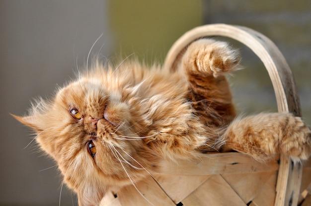 Adorabile gatto persiano domectic rosso seduto in un cesto di vimini, concetto di amore dell'animale domestico