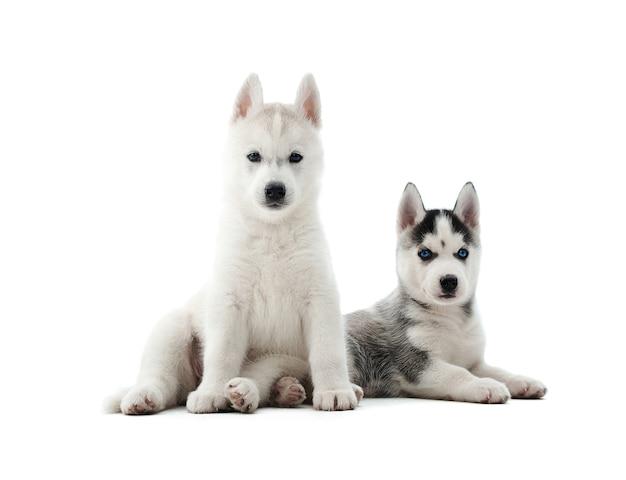 Adorabile cucciolo di husky siberiano sdraiato sul pavimento