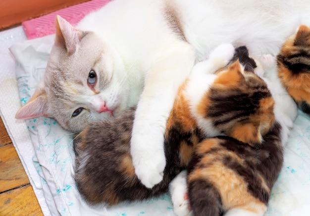 Adorabili piccoli gattini con mamma gatta. gattini che allattano i capezzoli di mamma gatti. gatti scozzesi