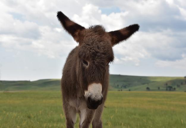 Adorabile asino dalla faccia dolce in piedi in un grande prato di erba.