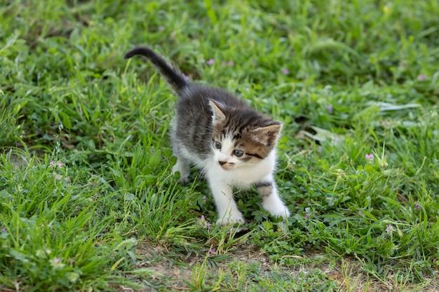 Adorabile gattino tabby che cammina all'aperto sull'erba verde