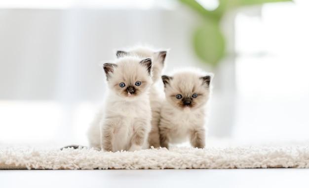 Adorabili gatti ragdoll bianchi in piedi che tengono in bocca una palla di carta in una stanza luminosa con la luce del giorno. adorabile animale domestico felino di razza che gioca all'aperto con i giocattoli